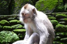 Ubud monkey