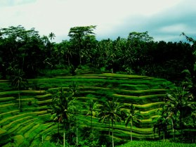Ubud_rice_terrace