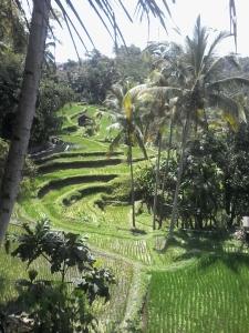 Rice Terrace Gunung Kawi