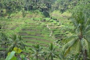Bali_rice_terrace_ubud