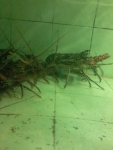 life_lobster_jimbaran