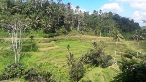 tegalalang_rice_terrace
