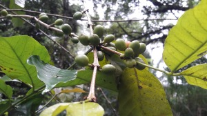 bali_coffee_plantation