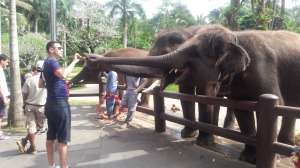 Elephant_feeding_bali