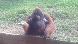 bali_zoo_orang_hutan