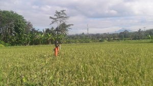 Ubud_rice_field